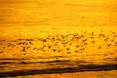 Slow flight of birds and panning in motion blur natural backgrou Royalty Free Stock Photography