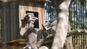 SLOW: Group lemur sitting in a home. SLOW MOTION: Group lemur sitting in a home stock video footage