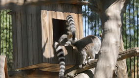 SLOW: Group lemur in a zoo stock footage