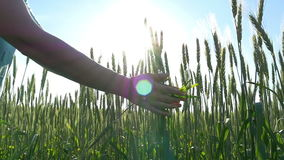 Slow hands touch the ears of wheat. stock video