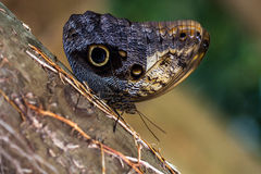 Slow Life. Tropical butterfly caligo owl on the tree. Macro photografie of wildlife Royalty Free Stock Image