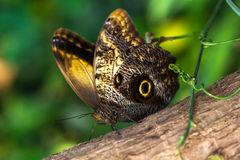Slow life. Tropical butterfly caligo owl on the tree. Macro photografie of wildlife Royalty Free Stock Photos