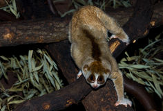 Slow loris Stock Photos