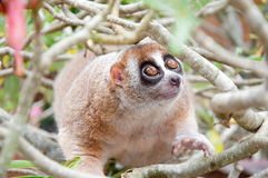 Slow loris Royalty Free Stock Photos