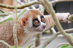 Slow loris Royalty Free Stock Images