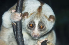 Slow loris Royalty Free Stock Photography