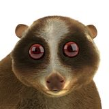 Slow loris Stock Photo