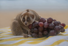 Slow loris monkey sitting on the towel with grapes isolted on the beach Stock Images