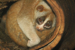 slow loris monkey on tree Royalty Free Stock Photo