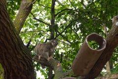 Slow Loris playing on a tree Stock Photo