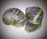 Slow love. Snails love scene Stock Images