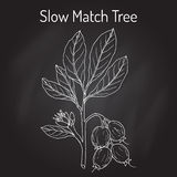 Slow Match Tree Careya arborea , medicinal plant. Stock Images