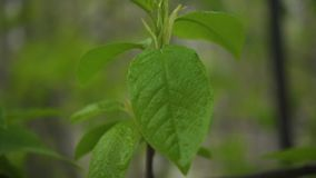 Slow mo. Green leaves on a branch of a tree. Slow mo. Spring green leaves on a branch of a tree or a bush stock video
