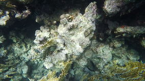 Slow motion. Abudefduf search for food among the corals stock video footage
