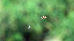 Slow motion araneus diadematus weaving web. Close-up cross spider on cobweb. Slow motion of araneus diadematus weaving web. Close-up cross spider on cobweb in stock footage