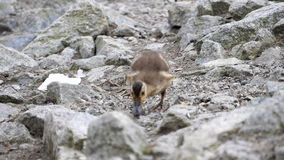 Slow motion of baby goslings finding food to eat stock video footage