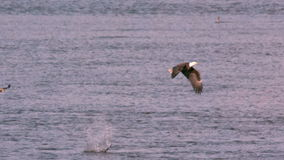 Slow motion bald eagle flying off with fish stock video footage