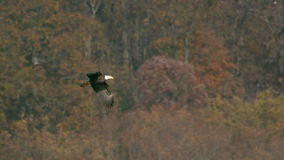 Slow motion bald eagle flying off stock footage