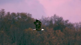 Slow motion bald eagle flying off stock video