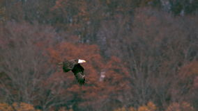 Slow motion bald eagle flying off stock video footage