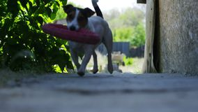 Beautiful active dog of Jack Russell Terrier breed runs on camera stock video