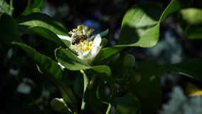 Slow motion of bee on orange blossom collects nectar. Bees on tree flower stock footage