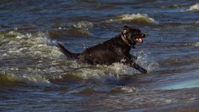 SLOW MOTION:  Black large dog breed Labrador runs along the sandy shore. The dog jumps into the water, swims and sports with the stock video footage