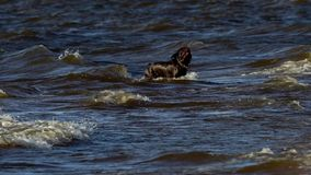 SLOW MOTION:  Black large dog breed Labrador runs along the sandy shore. The dog jumps into the water, swims and sports with the stock footage
