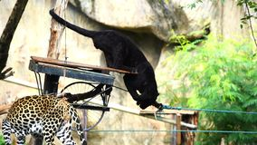 Black panther eating meat. Slow-motion of black panther eating meat stock video