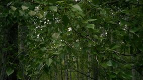 Slow motion. The branches of the poplar are swaying in the wind stock footage