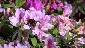 Slow motion of bumblebee pollinating beautiful flowers. Bumble-bee blossom stock video footage