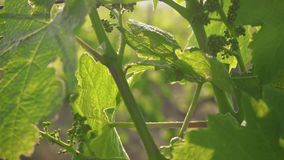 Slow motion camera movement up the young vine. Slow motion movement of the camera up the young vine with a bunch of grapes stock video footage