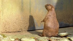 Slow motion of captive black-tailed Prairie Dog standing upright and looking. Slow motion of a captive black-tailed Prairie Dog standing upright and looking stock footage