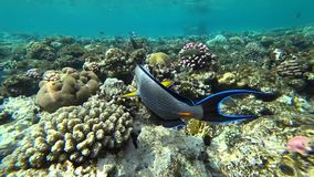 Clip of a sohal surgeonfish or sohal tang, Acanthurus sohal. Slow motion clip of a sohal surgeonfish or sohal tang, Acanthurus sohal stock footage