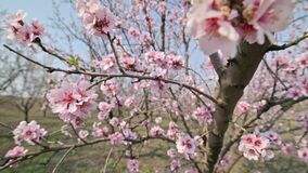 Slow motion closeup of blooming almond tree pink flowers at strong wind during springtime in Moldova