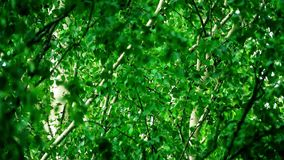 Waving birch leaves and branches in summer forest. Slow motion close-up shot of waving birch leaves and branches in summer stock video