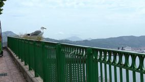 Slow Motion of common seagull flying on mediterranean see. Gull fly in Italy stock video