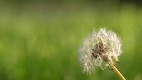 Slow motion of dandelion. On blur green grass background stock video footage