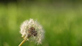 Slow motion of dandelion. On blur green grass background stock video