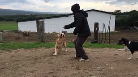 Slow motion dog breed equal to the labrador that attaches to the arm with clearly visible sharp teeth