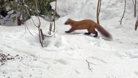 Slow motion European pine marten (Martes martes) in the snow. stock video