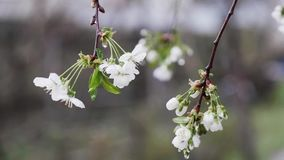 A falling drop of rain on a cherry blossom flower. Slow Motion Falling of a Drop of Rain from Cherry Blossom Petals Slow motion 240 fps stock video footage