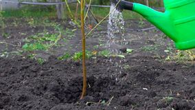 In slow motion, the farmer watering new tree in his garden.  stock video footage