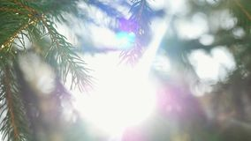 Slow motion of fir branches on beautiful sun stock footage