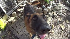 Slow motion and focus at German Shepard dog is going out home and shaking its head. stock video footage