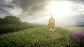 Slow motion footage: beagle dog walks by the trail sniffing out for some treat stock footage