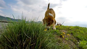 Slow-motion footage: beagle smelling the dandelions while on the walk stock footage
