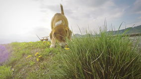 Slow-motion footage: beagle on the walk sniffing dandelions stock video