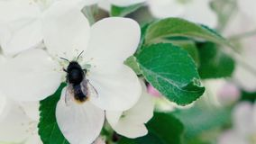Slow motion footage. Bee flying collecting pollen from flowers stock video