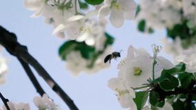 Slow motion footage. Bee flying collecting pollen from flowers stock video footage